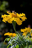 """270 - Feb 17<br /> Marigold <br /> <br /> D300 60mm macro ISO 400 f9 1/800<br /> <br /> Shot at Mahabaleshwar, a hill station near Mumbai. I was trying out the 60mm 2.8 macro someone wanted to sell. <br /> <br /> <br />  <a href=""""http://www.javeri.net"""">http://www.javeri.net</a>"""