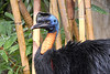 """286 - Mar 05<br /> Norther (Single-wattled) Cassowary (Casuarius unappendiculatus )<br /> <br /> Shot at Bali Bird Park, Ubud There was a slight but almost a continuous drizzle that day and I didn't have an umbrella so by the time I finished, I was drenched. The Lowepro bag's 'raincoat' protected my gear while the camera lens were covered with a small hand towel. This restricted my movements and changing lenses was out of the question.<br /> <br /> <br />  <a href=""""http://www.javeri.net"""">http://www.javeri.net</a>"""