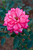 """271 - Feb 18<br /> Rose <br /> <br /> D300 60mm macro ISO 200 f8 1/200<br /> <br /> Shot at Mahabaleshwar, a hill station near Mumbai. The place where we were staying had roses with beautifully subtle colours. <br /> <br /> No PP. <br /> <br /> <br />  <a href=""""http://www.javeri.net"""">http://www.javeri.net</a>"""