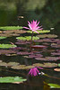"187 31st Oct<br /> Reflection -2 <br /> <br /> D300 70-200 2.8 ISO 400 at f4.5 1/100 sec<br /> <br /> Water Lily at cousin's garden<br /> <br />  <a href=""http://www.javeri.net"">http://www.javeri.net</a>"