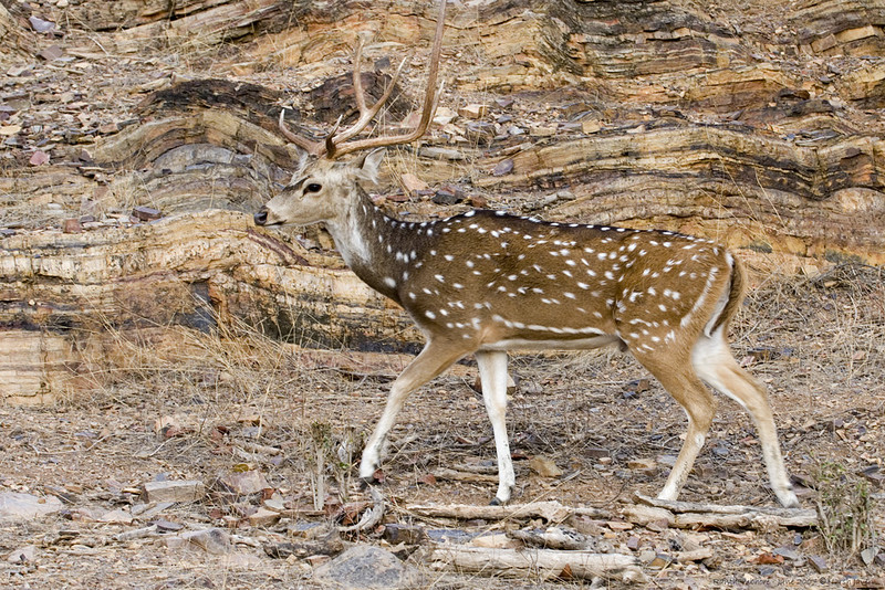 "Cheetal - spotted deer<br /> Ranthambhore National Park.<br /> <br /> Ranthambhore near Sawaimadhopur is the only dry deciduous tiger habitat in the world. This natural habitat covering an 282 sq. km area is also home to many other animals like sambar & cheetal (deers), langur monkeys, leopards, sloth bears, hares, porcupines, jungle cats, civets and hyenas plus a variety of birds. Entry is restricted to certain hours of the day and in authorised Gypsys (Jeep like cars) only. <br /> <br />  <a href=""http://hershy.smugmug.com/gallery/2512797_UjDgv/1/131958555_Uqtuo/Medium"">http://hershy.smugmug.com/gallery/2512797_UjDgv/1/131958555_Uqtuo/Medium</a><br /> <br /> more pics:     <a href=""http://hershy.smugmug.com/Travel/290255"">http://hershy.smugmug.com/Travel/290255</a><br /> <br /> I am associated with Tiger Watch, an NGO; since some years.<br /> for details:    <a href=""http://www.tigerwatch.net/index.htm"">http://www.tigerwatch.net/index.htm</a><br /> <br /> for pics:    <a href=""http://hershy.smugmug.com/Conservation"">http://hershy.smugmug.com/Conservation</a><br /> <br /> <br />  <a href=""http://www.ranthambhore.com/"">http://www.ranthambhore.com/</a><br /> <br /> <br />  <a href=""http://www.javeri.net"">http://www.javeri.net</a>"