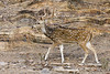 """Cheetal - spotted deer<br /> Ranthambhore National Park.<br /> <br /> Ranthambhore near Sawaimadhopur is the only dry deciduous tiger habitat in the world. This natural habitat covering an 282 sq. km area is also home to many other animals like sambar & cheetal (deers), langur monkeys, leopards, sloth bears, hares, porcupines, jungle cats, civets and hyenas plus a variety of birds. Entry is restricted to certain hours of the day and in authorised Gypsys (Jeep like cars) only. <br /> <br />  <a href=""""http://hershy.smugmug.com/gallery/2512797_UjDgv/1/131958555_Uqtuo/Medium"""">http://hershy.smugmug.com/gallery/2512797_UjDgv/1/131958555_Uqtuo/Medium</a><br /> <br /> more pics:     <a href=""""http://hershy.smugmug.com/Travel/290255"""">http://hershy.smugmug.com/Travel/290255</a><br /> <br /> I am associated with Tiger Watch, an NGO; since some years.<br /> for details:    <a href=""""http://www.tigerwatch.net/index.htm"""">http://www.tigerwatch.net/index.htm</a><br /> <br /> for pics:    <a href=""""http://hershy.smugmug.com/Conservation"""">http://hershy.smugmug.com/Conservation</a><br /> <br /> <br />  <a href=""""http://www.ranthambhore.com/"""">http://www.ranthambhore.com/</a><br /> <br /> <br />  <a href=""""http://www.javeri.net"""">http://www.javeri.net</a>"""
