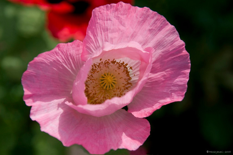 """Pink Poppy<br /> <br /> Shot at my cousin's garden in Ahmedabad.<br /> <br />  <a href=""""http://www.javeri.net"""">http://www.javeri.net</a>"""