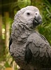 """Diva (OLD DAILY PICTURE CROPPED)<br /> African Grey Parrot (Psittacus erithacus)<br /> Diva was a surprise birthday gift to my cousin from his sons. Diva is adorable! She takes time to 'know' you but once she is comfortable, she is fine. When you say 'Kissy kissy' she'll put her head down so you can pet her.<br /> <br /> [1st October - AS PER SUCHIT'S SUGGESTION, I'VE CROPPED THE ORIGINAL PICTURE SUBMITTED TO THE DAILY GALLERY:   <br /> <br />  <a href=""""http://hershy.smugmug.com/gallery/4836391_ACj8A/1/360086693_pGfvD/Large"""">http://hershy.smugmug.com/gallery/4836391_ACj8A/1/360086693_pGfvD/Large</a> ]<br /> <br /> This is another picture selected by an internal jury at Leica Fotografie Int'l. in """"Master Shots"""" gallery of Leica Digilux section.<br /> <br />  <a href=""""http://www.lfi-online.de/gallery/index.php?home"""">http://www.lfi-online.de/gallery/index.php?home</a>"""