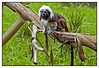 "3rd year Pic 153 - Feb 07 2011<br /> Cottontop Tamarin - Auckland Zoo<br /> <br /> Auckland Zoo has New Zealand's largest collection of animals and is recognised as one of the most progressive zoos in the world.<br /> A winner of national and international environmental-related awards, it is home to 117 different species and over 700 animals.<br /> <br />  <a href=""http://www.aucklandzoo.co.nz/home.aspx"">http://www.aucklandzoo.co.nz/home.aspx</a><br /> <br /> <br /> more pics of the Zoo: <br />  <a href=""http://hershy.smugmug.com/Travel/New-Zealand-Macau-Hong-Kong/Auckland-Zoo/15126936_yVLtW"">http://hershy.smugmug.com/Travel/New-Zealand-Macau-Hong-Kong/Auckland-Zoo/15126936_yVLtW</a>"