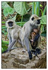 """3rd year Pic 262 - Jun 26 2011 <span style=""""color:yellow"""">Gray langurs</span> <br> Khem Vilas, Ranthambhore   Gray langurs are large and fairly terrestrial, inhabiting forest, open lightly wooded habitats, and urban areas on the Indian subcontinent. Langurs mostly walk quadrupedally and spend half their time on and the ground and the other half in the trees.[7] They will also make bipedal hops, climbing and descending supports with the body upright, and leaps.  Langurs can leap 3.7-4.6 m (12.0-15.0 ft) horizontally and 10.7-12.2 m (35-40 ft) in descending. http://en.wikipedia.org/wiki/Gray_langur  Khem Vilas: At Ranthambhore, we stayed at Khem Vilas, a beautiful jungle camp with three types of accommodations nestled in open grasslands with small water bodies, spread over an area of 10 acres.  <br> <span style=""""color:cyan"""">For more pictures of Khem Vilas go to  </span> <br> http://hershy.smugmug.com/Travel/Ranthambhore/Khem-Vilas-Feb-2007/2518298_us4An  http://www.khemvillas.com/"""