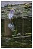 3rd year Pic 201 - Apr 08 2011<br /> Pond Heron<br /> Jijabai Udyan (Zoo)