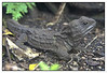 "3rd year Pic 154 - Feb 08 2011<br /> Tuatara, Auckland Zoo<br /> <br /> Habitat: Tuatara live in burrows in native forests but they also enjoy abandoned sheep pasture, where possible nesting sites may be more numerous. They can share burrows with seabirds, such as petrels and shearwaters. Endemic to New Zealand and now found only on offshore islands such as Stephens Island, the Mercury Islands group, Hen and Chicken Islands and Poor Knights Islands.<br /> <br /> Age:  The expected lifespan of tuatara is 60 to 70 years but it is possible for them to live for 100 years or more.<br /> <br /> Tuataras have been on earth for a very long time; in fact, they date back to the time of the dinosaurs. They are reptiles, but will often choose a damp dark hollow rather than be out in the full heat of the day because they have an unusually low body temperature optimum. Auckland Zoo has a number of different types or subspecies, of tuatara that come from different offshore islands. These include Stanley Island tuataras, Curvier tuataras and Stephen's Island tuataras.<br /> <br />  <a href=""http://www.aucklandzoo.co.nz/explore-the-zoo/meet-the-animals.aspx"">http://www.aucklandzoo.co.nz/explore-the-zoo/meet-the-animals.aspx</a><br /> <br /> more pics of the Zoo: <br />  <a href=""http://hershy.smugmug.com/Travel/New-Zealand-Macau-Hong-Kong/Auckland-Zoo/15126936_yVLtW"">http://hershy.smugmug.com/Travel/New-Zealand-Macau-Hong-Kong/Auckland-Zoo/15126936_yVLtW</a>"