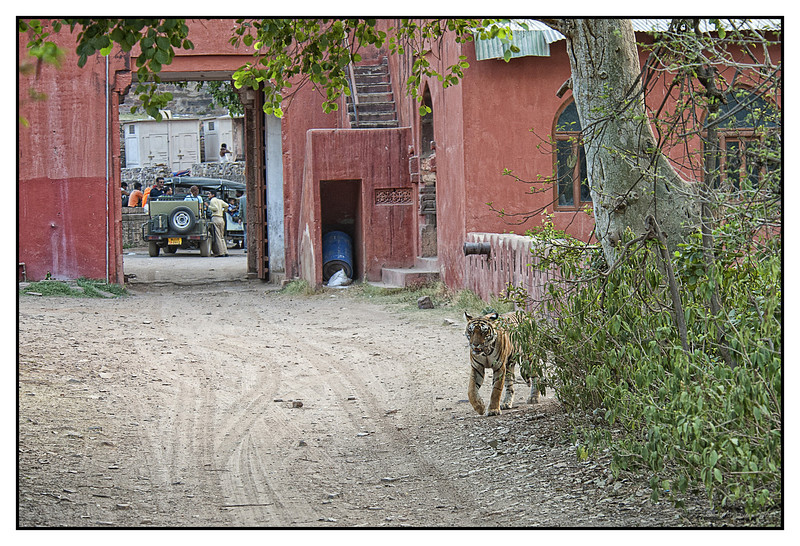"""3rd year Pic 322 - Sep 05 2011 <span style=""""color:yellow"""">Tiger crossing</span> Ranthambhore Natonal Park  During a ride in Ranthambhore National Park we had watched this Tigress, T17, sleeping near the lake. When she got up the driver of our Maruti Gypsy (an open Jeep type vehicle you can see at the far end) drove off and waited at the end of the road she would take. He knew she'd come out and cross over to another road.  We waited for 3-4 minutes and sure enough she emerged and crossed us diagonally  at a distance of about 100 feet!  What was interesting was that the people beyond the entrance to the park were unaware of her presence!  I've taken the liberty of posting two pictures today. The other one shows T17 in the middle of the road. Hope you enjoy both the pictures. <span style=""""color:cyan"""">Best seen in bigger size</span>  <span style=""""color:Red"""">Added on 6th Sept.</span> Kara and Ed,  The Tigress was inside Ranthambhore National park. The doors are closed soon as a vehicle enters the park but as it was closing time they were open for the Gypsies to exit."""