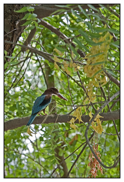 """3rd year Pic 304 - Aug 14 2011 <span style=""""color:yellow""""> Collared Kingfisher </span> Khem Vilas, Ranthambhore  The Collared Kingfisher (Todiramphus chloris) is a medium-sized kingfisher belonging to the family Halcyonidae, the tree kingfishers. It is also known as the White-collared Kingfisher or Mangrove Kingfisher. It has a wide range extending from the Red Sea across southern Asia and Australasia to Polynesia. It is a very variable species with about 50 subspecies. http://en.wikipedia.org/wiki/Collared_Kingfisher   <span style=""""color:cyan"""">More pictures at </span><br> http://hershy.smugmug.com/Travel/Ranthambhore/RT-June-2011/17444320_Qps9C3"""