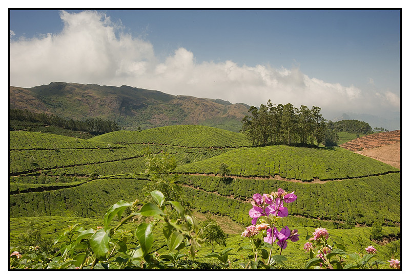 "3rd year Pic 295 - Aug 04 2011 <span style=""color:yellow"">Tea plantations </span><br> Munnar Munnar is one of the most popular hill-resort towns in Kerala in southern India. The name Munnar is believed to be derived from the Malayalam/Tamil words Munu (three) and aaru (river), referring to the town's strategic location at the confluence of the Muthirappuzha, Nallathanni and Kundaly rivers.  Set at an altitude of 6000 ft in Idukki district, Munnar was the favored summer resort of the erstwhile British rulers in the colonial days. Unending expanse of tea plantations - pristine valleys and mountains- exotic species of flora and fauna in its wild sanctuaries and forests - aroma of spice scented cool air.   More pics of Munnar: http://hershy.smugmug.com/Travel/Kerala/Around-Munnar/17828776_6xGQDz"