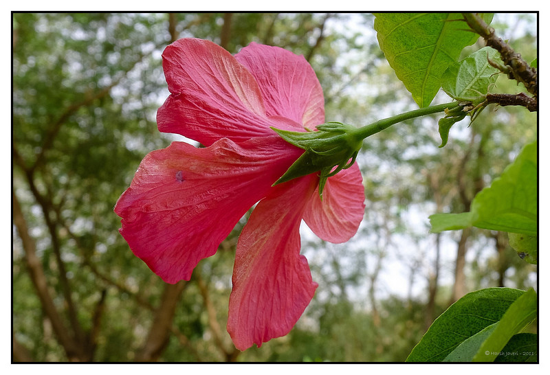 3rd year Pic 213 - Apr 24 2011<br /> Hibiscus<br /> <br /> Leica D-Lux 5<br /> <br /> Koteshwar,  Ahmedabad April 2011