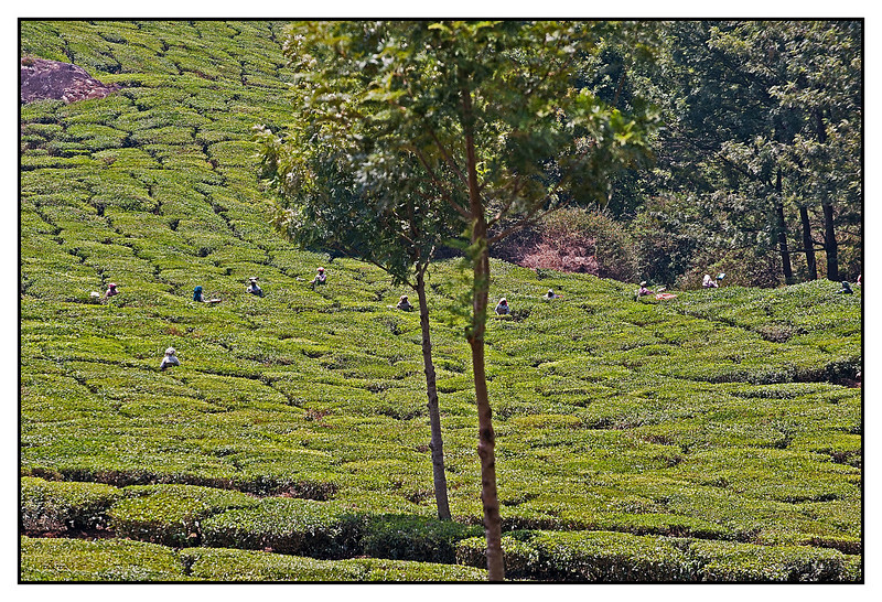 "3rd year Pic 327 - Sep 09 2011 <span style=""color:yellow""> Tea pluckers</span> Munnar, Kerala <span style=""color:cyan"">Best seen in large size</span><br>"
