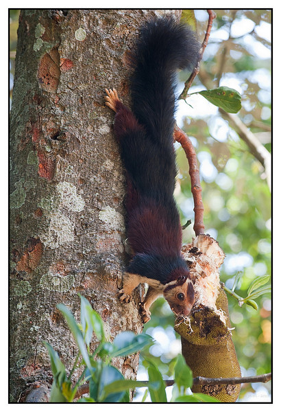 "3rd year Pic 357 - Oct 15 2011 <span style=""color:yellow"">Malabar giant squirrel </span>    <span style=""color:red"">best seen in BIG size. </span>  Periyar National Park Thekkady     For close-ups & more pics go to   http://hershy.smugmug.com/Travel/Kerala/Thekkady/16323715_f2XwW6#1228778012_5vjqB <span style=""color:red"">THIS IS THE THIRD TIME THE SNAKE HAS THROWN MY PIC OUT OF THE GALLERY TODAY. IT'S BECOMING RATHER OBVIOUS WHO YOU ARE SO STOP YOUR LOW LIFE TACTICS!!! </span>  <span style=""color:cyan""> Added at 1.15 AM India time- after a dinner with friends. </span> <span style=""color:red"">TO THE SNAKE who has written as a 'GUEST' : ""So, only ""Thumbs Up"" are allowed? Why do we have to look at your photos everyday?"" Unlike you I do NOT indulge in THUMBS UP pressing to promote my pics and throwing out BETTER pictures!!! If you care to notice, my pictures and those of others regularly receive comments from other members & friends  UNLIKE yours which come up on the FIRST position WITHOUT enough comments! Regarding your question, "" why do we have to look at your pictures everyday"" the answer is obvious unless you don't understand simple English! This is a DAILY community where members post EVERYDAY!  And no one is forcing you to look at my pictures if you don't like them ignore them but please don't ask stupid questions!  TO MY OTHER FELLOW DAILY MEMBERS: Dear friends, I once again thank you for your comments and support!</span>   <span style=""color:cyan"">Today is a special day for me, my birthday, and would like to thank you all for your very supportive comments and inspiring pictures. This community rocks!  I would also like to share a card my daughter Vinati made for me. . For those who don't know her, she's a Downs Syndrome child and is currently working at Om Creations, a sheltered workshop for the Developmentally challenged </span>  Click here to see her card</span> http://hershy.smugmug.com/Family/Family-Misc/19543961_zLV99J#1530537103_m2mgVtc-A-LB   The Indian giant squirrel, or Malabar giant squirrel, (Ratufa indica) is a large tree squirrel species genus Ratufa native to India. It is an upper-canopy dwelling species, which rarely leaves the trees, and requires ""tall profusely branched trees for the construction of nests. It travels from tree to tree with jumps of up to 6 m (20 ft). When in danger, the Ratufa indica often freezes or flattens itself against the tree trunk, instead of fleeing. Its main predators are the birds of prey and the leopard. The Giant Squirrel is mostly active in the early hours of the morning and in the evening, resting in the midday. It is a shy, wary animal and not easy to discover  http://en.wikipedia.org/wiki/Indian_giant_squirrel"