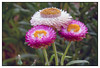 3rd year Pic 214 - Apr 25 2011<br /> Helichrysum<br /> <br /> Leica D-Lux 5  SOOC  Best seen in large size<br /> <br /> Koteshwar,  Ahmedabad April 2011