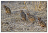 """3rd year Pic 263 - Jun 27 2011 <span style=""""color:yellow"""">Follow the leader</span> <br> Quail at Ranthambhore National Park  Very difficult to spot and photograph, I was lucky to get a few shots.   During my trip to Ranthmbhore for NGO work, we managed two trips to the park. Ranthambore National Park is in Sawai Madhopur District of Rajasthan state. The park covers an area of Approximately 400 sq Km and is famous for Tigers, Panthers, Sloth bears and other animals plus a large variety of birds.   This is the link to Tiger Watch, the NGO I work for:<br> http://www.tigerwatch.net/  Ranthambhore: http://www.ranthamborenationalpark.com/time-to-visit.html"""