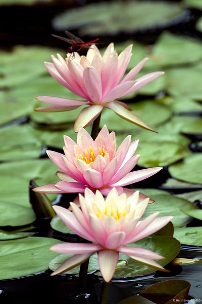 3rd year Pic 018<br /> Water Lily, Ahmedabad