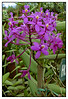 "3rd year Pic 287 - Jul 26 2011 <span style=""color:yellow"">Orchid  </span><br>  Will appreciate if someone can help with the name.  <span style=""color:red"">My nephew's wife Jayshree has identified this as an Orchid, Thanks! </span><br>  Shot at a nursery at Munnar, Kerala, India Leica shot No PP More pics: http://hershy.smugmug.com/Travel/Around-Munnar/17828776_6xGQDz"