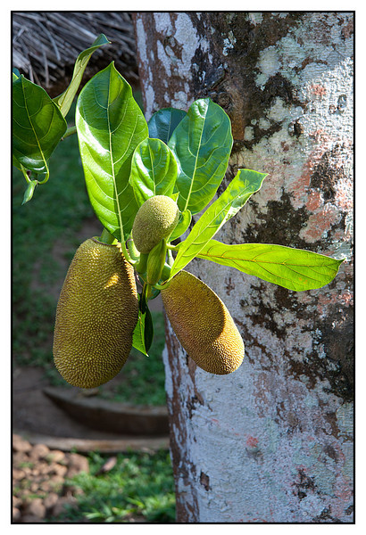 "3rd year Pic 352 - Oct 09 2011 <span style=""color:yellow"">Jackfruit</span> Thekkady  The jackfruit (Artocarpus heterophyllus or A. heterophylla) is native to parts of Southern and Southeast Asia. It is the national fruit of Bangladesh, (locally called Kathal). The jackfruit tree is believed to be indigenous to the southwestern rain forests of India. The flesh of the jackfruit is starchy, fibrous and is a source of dietary fiber. The flavour is similar to a tart banana. Jackfruit is commonly used in South and Southeast Asian cuisines.  It can be eaten unripe (young) when cooked, or ripe uncooked. The seeds may be boiled or baked like beans. The leaves are used as a wrapping for steamed idlis.  http://en.wikipedia.org/wiki/Jackfruit"