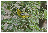 "3rd year Pic 302 - Aug 12 2011 <span style=""color:yellow"">Common Iora </span> Khem Vilas, Ranthambhore  The Common Iora (Aegithina tiphia) is a small passerine bird found across the tropical Indian Subcontinent with populations showing plumage variations, some of which are designated as subspecies. A species found in scrub and forest, it is easily detected from its loud whistles and the bright colours. During the breeding season, males display by fluffing up their feathers and spiral in the air appearing like a green, black, yellow and white ball. http://en.wikipedia.org/wiki/Common_Iora  <span style=""color:cyan"">More pictures at </span><br> http://hershy.smugmug.com/Travel/Ranthambhore/RT-June-2011/17444320_Qps9C3"