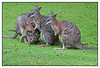 "3rd year Pic 182 - Mar 12 2011<br /> <br /> Wallaby<br /> Paradise valley springs, New Zealand<br /> <br /> A wallaby is any of about thirty species of macropod (Family Macropodidae). It is an informal designation generally used for any macropod that is smaller than a kangaroo or wallaroo that has not been given some other name.<br /> <br /> Very small forest-dwelling wallabies are known as pademelons (genus Thylogale) and dorcopsises (genera Dorcopsis and Dorcopsulus). The name wallaby comes from the Eora Aboriginal tribe who were the original inhabitants of the Sydney area. Young wallabies are known as ""joeys"", like many other marsupials.<br /> <br /> <br /> <a href=""http://en.wikipedia.org/wiki/Wallaby"">http://en.wikipedia.org/wiki/Wallaby</a><br /> <br /> Am going out of town for a few days and will not be commenting on pictures till I return. Take care! Cheers!!"