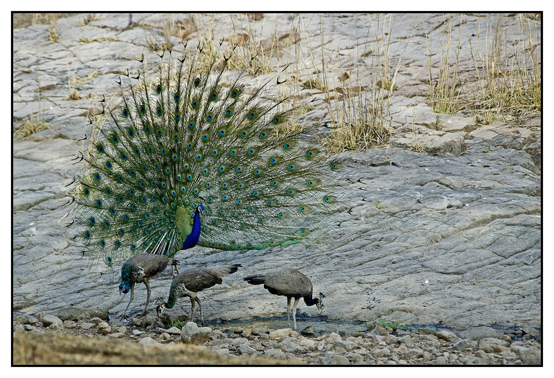 "3rd year Pic 308 - Aug 21 2011 <span style=""color:yellow"">Ignored! </span> Khem Vilas, Ranthambhore  <span style=""color:cyan"">The male peacock flares out his feathers when he is trying to get the female's attention but here he seems to be ignored! </span>  <span style=""color:cyan"">More pictures at </span><br> http://hershy.smugmug.com/Travel/Ranthambhore/RT-June-2011/17444320_Qps9C3"