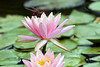 3rd year Pic 017<br /> Water Lily, Ahmedabad