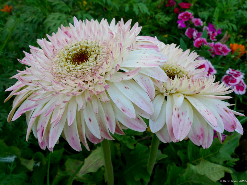 3rd year Pic 022<br /> Chrysanthemum<br /> Leica D-Lux4
