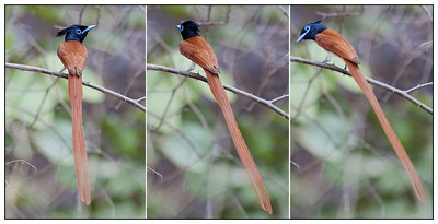 3rd year Pic 316 - Aug 29 2011 Paradise Fly catcher Ranthambhore National Park Best seen in bigger size More pictures at  http://hershy.smugmug.com/Travel/Ranthambhore/RT-June-2011/17444320_Qps9C3  The paradise-flycatchers, Terpsiphone, are a genus of monarch flycatchers. The genus ranges across Africa and Asia, as well as a number of islands. A few species are migratory, but the majority are resident. The most telling characteristic of the genus is the long tail streamers of the males of many species. In addition to the long tails the males and females are sexually dimorphic and have rufous, black and white plumage.  http://en.wikipedia.org/wiki/Paradise_flycatcher