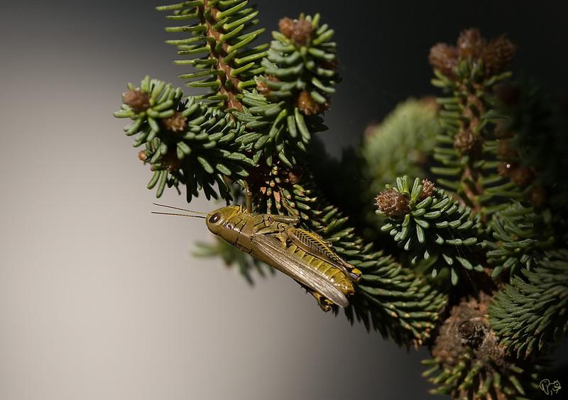 Sept 6th<br /> <br /> Basic boring grasshopper on a conifer shot