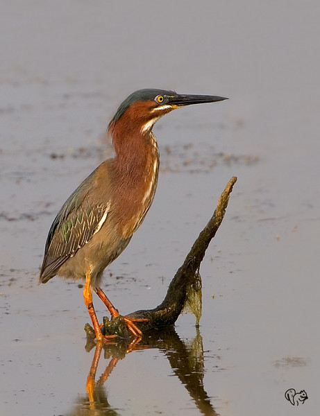 May 28th<br /> <br /> After a year a Green Heron out in the open. Pretty water would have been a nice touch:-)<br /> <br /> Also wishing the best of luck to George, Josh, Sherstone and Vandana who are in the Semifinals of the LPS photo contest!!!!