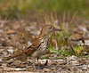 June 9th  Brown Thrasher + Dinner  And for those who feel the need..Sq fix shots  http://thusie.smugmug.com/gallery/2300686#160794242