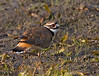 May 16th<br /> <br /> Killdeer in morning light