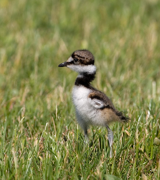 June 10th<br /> <br /> Baby Killdeer..These guys don't look in focus even when they are..Cute little dudes