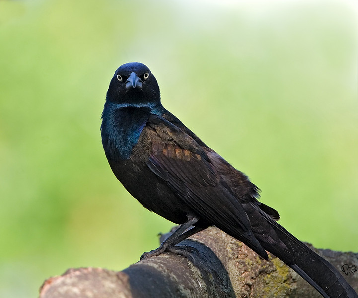 May 22nd<br /> <br /> Evil Grackle Child<br /> <br /> (It's an adult)
