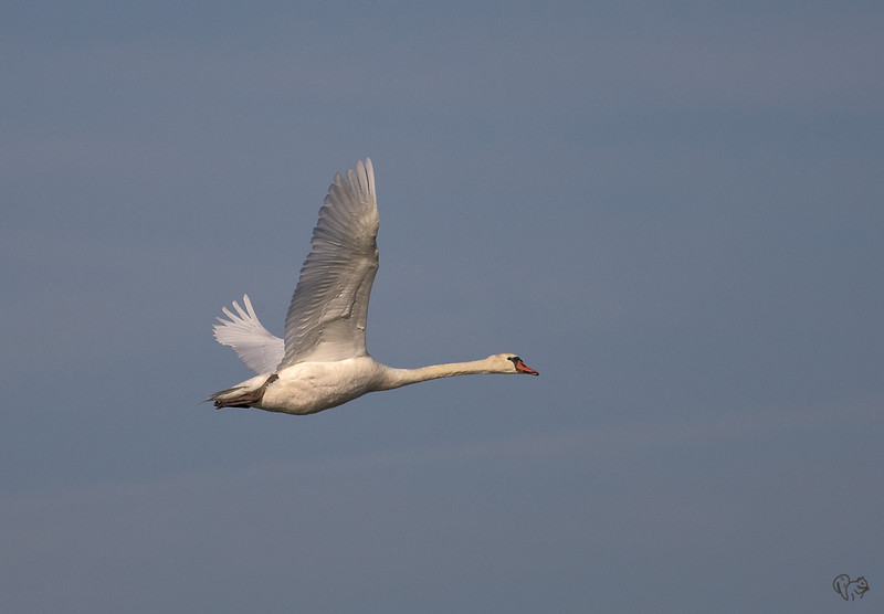 Oct 16th<br /> <br /> Yearly Mute Swan shot