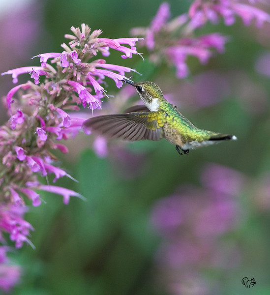 Aug 7th<br /> <br /> Hummingbird