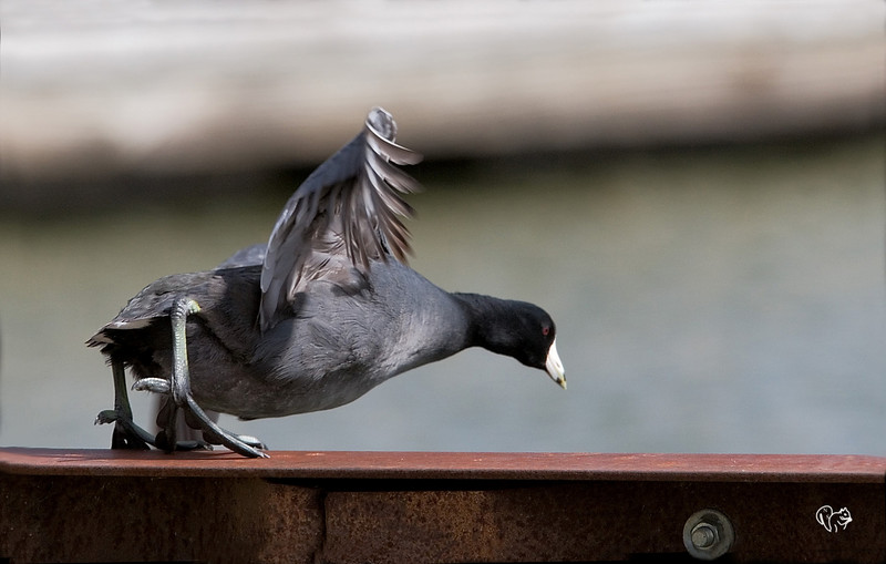 April 17th<br /> <br /> Look out below!<br /> <br /> Coot showing  best in form in the platform diving contest.