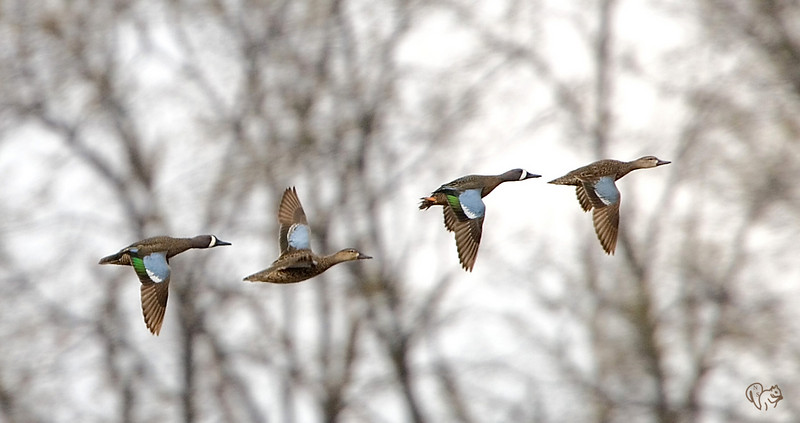 April 8th<br /> <br /> Now these guy know how to follow fly-by directions! <br /> <br /> Blue-winged Teal. Not one of my better BIF shots but one I've been trying for for a few weeks,yea!!!<br /> <br /> Happy Easter!