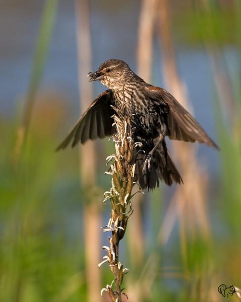 July 11th<br /> <br /> R-w Blackbird with dinner