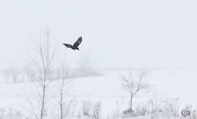 Feb 14th<br /> <br /> At the wetlands in the snow storm yesterday to try for some scene shots when this crow flew in. Longer glass  would have been nice, but even the 200 was hunting in all that snow:-)<br /> <br /> Happy Valentine's Day!!