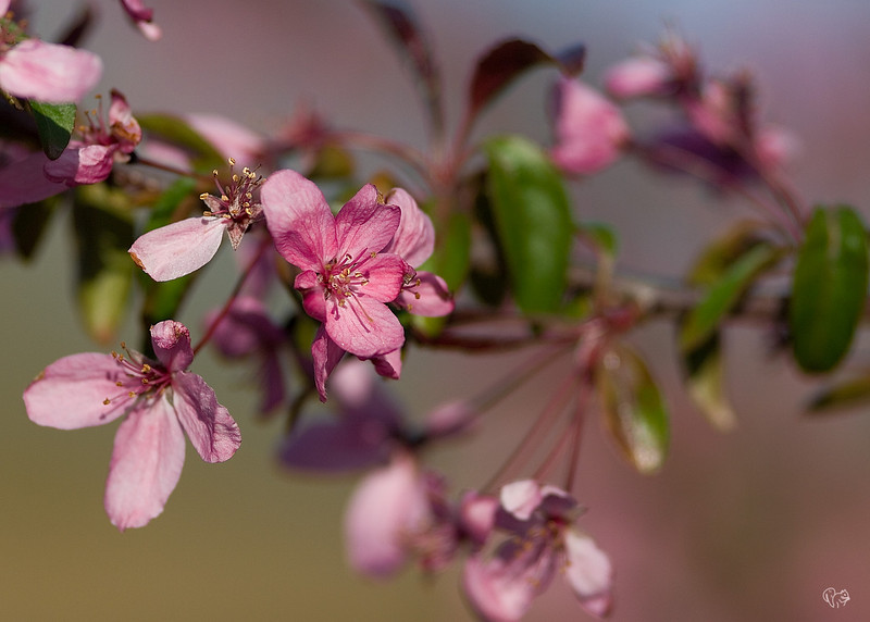 April 30th<br /> <br />  It IS spring!<br /> <br /> Crabapple Prairie Fire