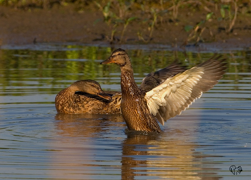 July 19th<br /> <br /> Ducks with stick shadows..Blech