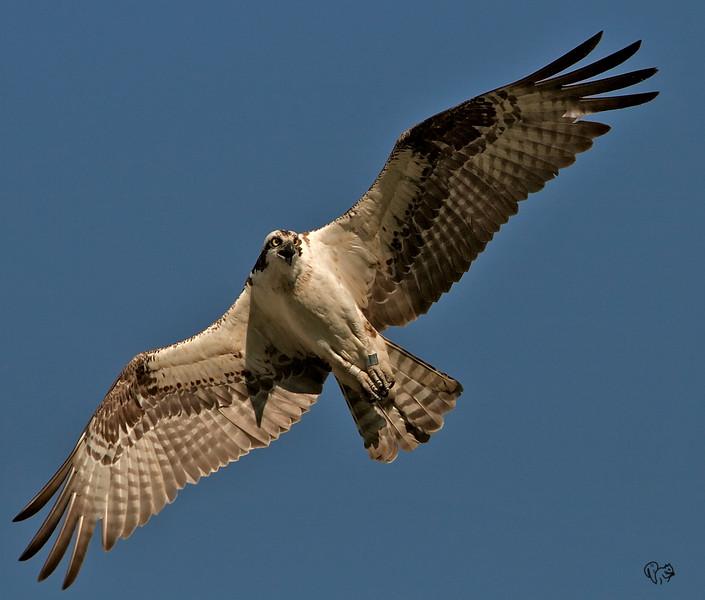 Aug 1st<br /> <br />  Osprey