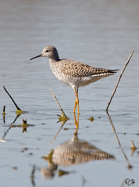 April 23rd<br /> <br /> I'm thinking a Lesser Yellowlegs, a migrant (just passing though). I heard there could be one at the Dawes Wetlands, there is.