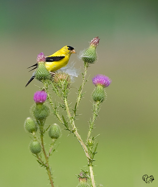 Aug 10th<br /> <br /> Goldfinch