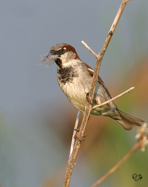 May 12th<br /> <br /> House Sparrow (male)<br /> <br /> Hey I don't name these guys:-)))