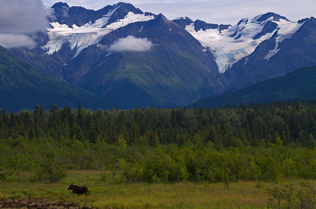 8.20.13: A year old bull moose strolls through the vast Alaskan wilderness like he owns the place. It is amazing that such a large creature can appear so small.