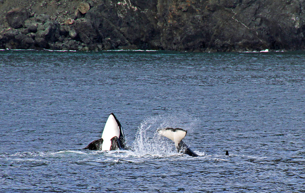 A day spent whale watching in Resurrection Bay, Seward, Alaska was rewarded with these Orcas frolicking in the ocean. It was an incredible Sea World moment in the wild.