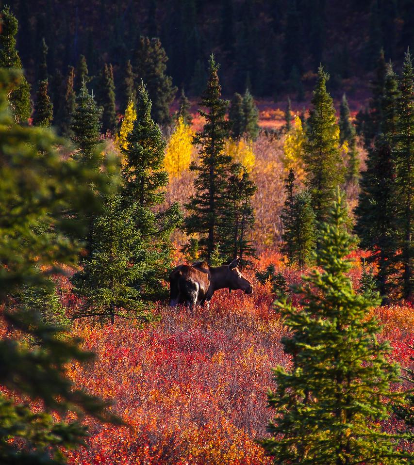 Tundra Moose